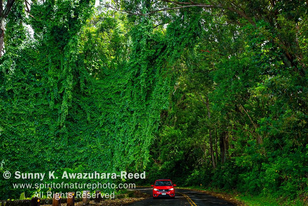 A red car drive through vine covered rainforest along along Tantalus Drive, Oahu Island, Hawaii.