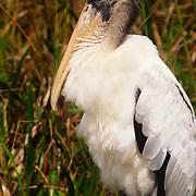 Wood stork in Everglades National Park, FL.
