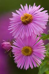 Aster novae-angliae 'Barr's Pink'