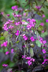 Lunaria annua 'Chedglow' - Purple honesty