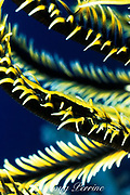 crinoid shrimp, Periclimenes sp., matches color of host feather star or crinoid to camouflage itself, Layang Layang Atoll, Malaysia, ( South China Sea )