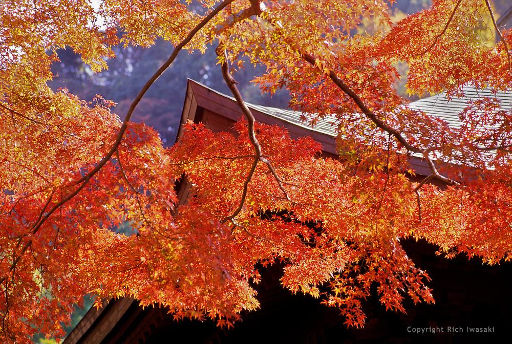Japanese maple branches in autumn, near Sugimoto-dera (temple) in Kamakura, Kanagawa Prefecture, Japan