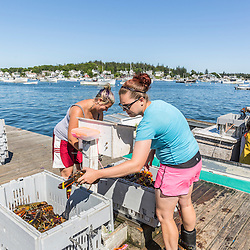 Veronica Ames (left) and Katilyn Willis weigh lobsters at the Vinalhaven Fishermen's Co-op in Vinalhaven, Maine.