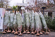 Wrapped Christmas trees for sale in Moseley on 24th November 2020 in Birmingham, United Kingdom. With one month to go until Christmas, many people are putting their trees up early as a way of generating some joy and happiness during the ongoing coronavirus pandemic.