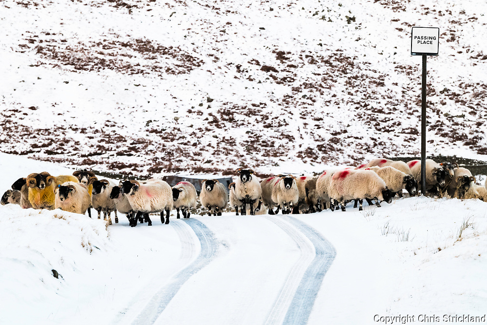 Meggethead, Selkirk, Scottish Borders, UK. 15th December 2017. A flock of Black Face sheep gather on a road at Meggethead during the tupping season.