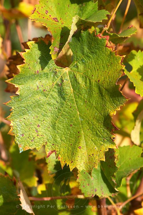 A Mourvedre leaf on a vine.  Domaine la Monardiere Monardière, Vacqueyras, Vaucluse, Provence, France, Europe