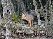 A Fuegian Fox, Culpeo, Zorro rojo (Lycalopex culpaeus)  in Guindo, Evergreen Southern Beech (Nothofagus betuloides) forest. Tierra del Fuego National Park. Ushuaia, Tierra del Fuego, Argentina. 25Feb13