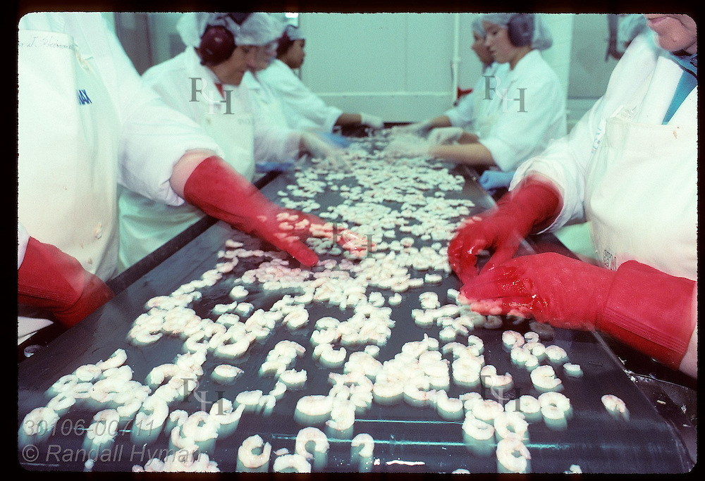 Women's hands blur as they sort shrimp on conveyor belt at the Ritur factory; (h) Isafjordur. Iceland