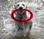 There is plenty of sun and plenty of tosses for Oly to play fetch with her owner at Juanita Beach Park in Kirkland. (Ken Lambert / The Seattle Times)