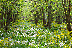 The Nuttery at Sissinghurst Castle Garden in spring. Euphorbia amygdaloides var. robbiae and Hyacinthoides non-scripta 'Alba' carpeting the ground. White Bluebell, Wood Spurge