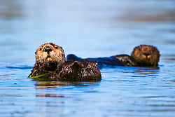 Picture of southern sea otters or California sea otters, Enhydra lutris nereis, endangered species, Moss Landing, Elkhorn Slough, Monterey Bay, California, North East Pacific Ocean