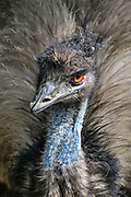The emu (Dromaius novaehollandiae) is the second-tallest living bird in the world exceeded only by the ostrich. Emus are endemic to Australia where it is the largest native bird and is found throughout most of mainland Australia.  <br /> <br /> Emus are soft-feathered, brown, flightless birds with long necks and legs, and can reach up to 1.9 meters (6.2 ft) in height. Emus range in length from 139 to 164 cm (55 to 65 in).  They are the fifth heaviest living bird in the world after the two species of ostrich and two larger species of cassowary.  Adult emus weigh between 18 and 60 kg (40 and 132 lb), with an average of 31.5 and 37 kg (69 and 82 lb) in males and females, respectively.<br /> <br /> Emus can travel great distances, and when necessary they can sprint at 50 km/h (31 mph).  They flap their wings when running, perhaps as a means of stabilizing themselves when moving fast.  Emus can run at speeds of 48 km/h (30 mph) due to their highly specialized pelvic limb musculature.  When walking, the emu takes strides of about 100 cm (3.3 ft), but at full gallop, a stride can be as long as 275 cm (9 ft). Emus have good eyesight and hearing.<br /> <br /> Emus primarily eat plants and insects but can go for weeks without eating. They drink infrequently but ingest large amounts of water when they do.  Emus breed in May and June.  The male incubates the eggs and hardly eats or drinks during that time, losing a significant amount of weight. The eggs hatch after about eight weeks, and the young are nurtured by their fathers. Emus reach full size after about six months.  The emu plumage varies in color due to environmental factors.  Feathers of emus in more arid areas with red soils have a rufous tint while birds residing in damp conditions are generally darker in hue. The juvenile plumage develops at about three months with the head and neck being especially dark. The adult plumage has developed by about fifteen months.
