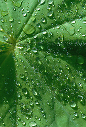 Water droplets on a leaf of Alchemilla mollis - Lady's mantle