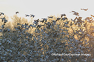 00754-02702 Snow Geese (Anser caerulescens) flying from wetland at sunrise Marion Co. IL