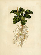 hand painted Botanical illustration of flower details leafs and plant from Collectaneorum Supplementum by Nicolai Josephi Jacquin Published 1796. Figure 16