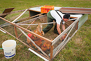 "Matt Schwab chooses heritage chickens for harvest. Small family farmers Matt and Jen Schwab operate ""Inspiration Plantation"" an organic farm outside of Ridgefield, Washington. The couple raises and harvests their own heritage chickens, and seasonally inviting their customers in the community to visit their farm and help with the poultry harvest. Once the birds are killed, they're placed in a bath of near boiling water to loosen the feathers and then rotated in a washing machine-like tub with rubber appendages that pull the feathers out. Visiting helpers can participate in every step of the process and receive a fresh chicken for their efforts."