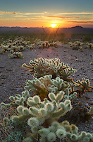 Sonoran desert sunset with Teddy Bear Cholla cactus (Cylindropuntia bigelovii), Kofa Mountains Wildlife Refuge Arizona