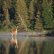 Whitetail deer (Odocoileus virginianus) along the shores of  Island Lake, Minnesota.