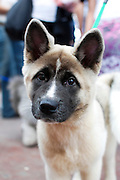 American Akita Puppy a dog breed from the mountainous northern regions of Japan. The American Akita is considered a separate breed from the Akita Inu