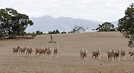 Sheep in drought conditions.<br /> <br /> Larger JPEG + TIFF images available by contacting use through our contact page at :..www.photography4business.com