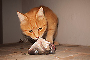 A stray cat has an unexpected dinner of a fish head. All over Greece there are millions of stray cats and other animals. Very much welcomed by the Greek people, many of these cats are invited into homes, or at least fed outside. It is a culture of strays which is very evident right across the country.