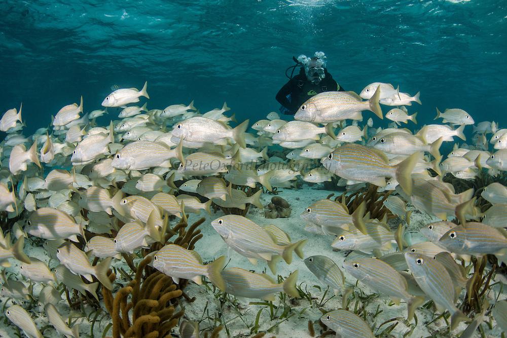 Bluestriped Grunt (Haemulon sciurus) & Stephen Box<br /> Hol Chan Marine Reserve<br /> near Ambergris Caye and Caye Caulker<br /> Belize<br /> Central America