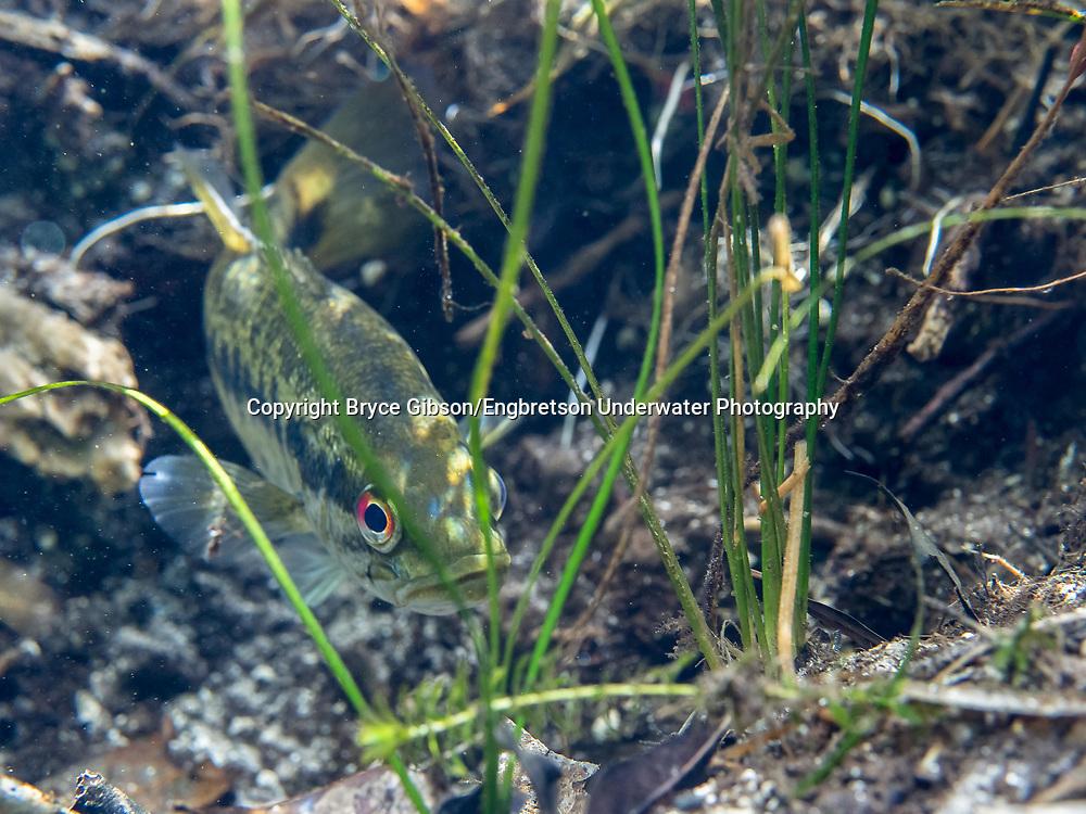Redeye Bass<br /> <br /> Bryce Gibson/Engbretson Underwater Photography