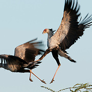 Secretary Birds (Sagittarius serpentarius) fighting. Masai Mara National Reserve, Kenya, Africa