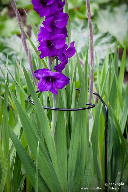 Hoop plant support around Gladiolus 'Purple Flora'