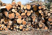 Pile of timber logs cut as part of heathland management, Sutton, Suffolk, England