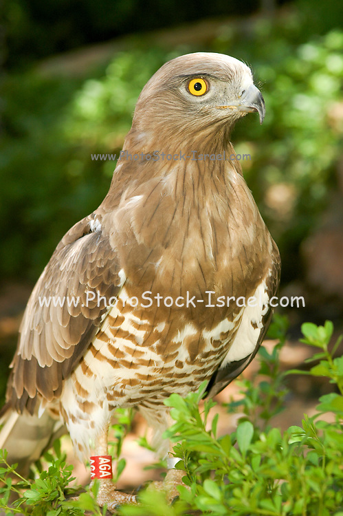 Short-toed Snake Eagle (Circaetus gallicus) in a tree. This bird of prey is found throughout the Mediterranean basin, Russia and the Middle East, and parts of Asia. Photographed in Carmel mountain, israel in June
