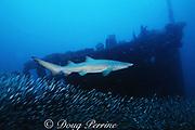 sand tiger shark, Carcharias taurus (formerly Odontaspis/ Eugomophodus ) wreck of the Caribsea, N. Carolina, United States ( Western Atlantic Ocean )