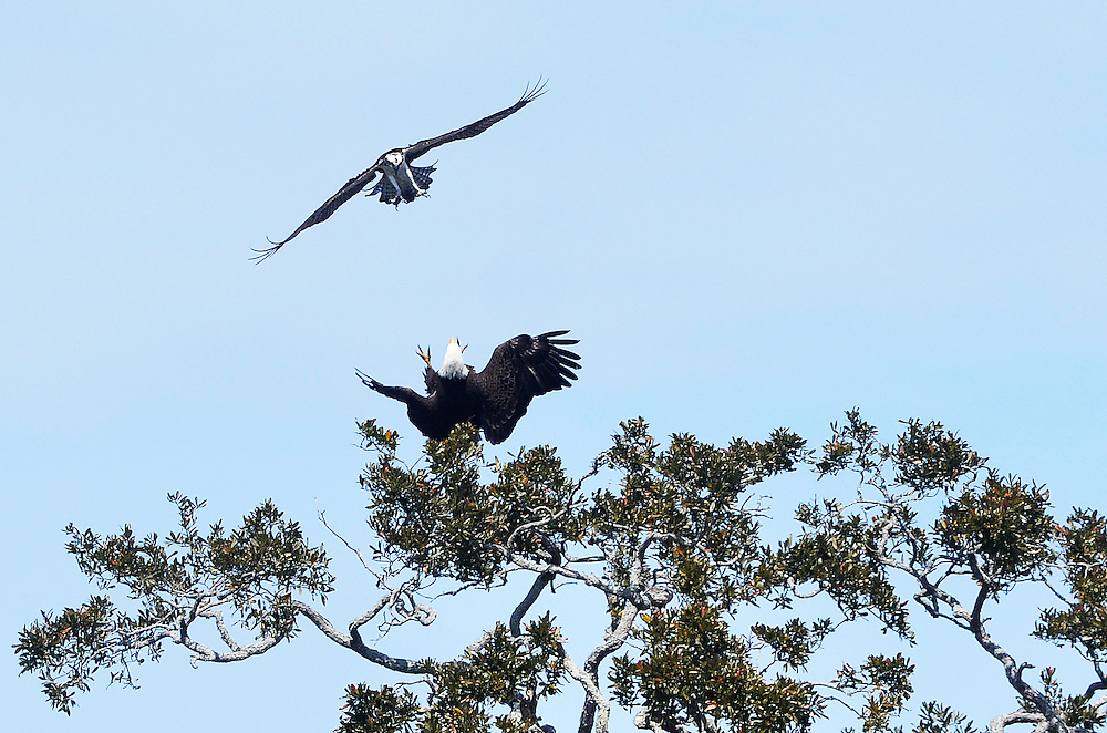 A Bald Eagle is seen using it's talons to keep a dive bombing Osprey at bay after perching in a tree near Shelter Cove Lane on March 9, 2015.