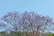 Jacaranda tree in flower. Jacarandas grow in many of the streets and in the Central Park of Antigua.  Antigua Guatemala, Republic of Guatemala. 02Mar14