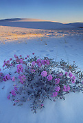 Sand Verbena blossoms in the dunes of White Sands National Monument, near Alamogordo, New Mexico