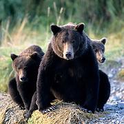 Alaskan Brown Bear, (Ursus middendorffi)  Mother with cubs. Katmai National Park. Alaska.