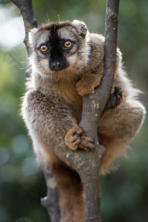 Common brown lemur (Eulemur fulvus)<br /> East Madagascar<br /> Mantadia National Park<br /> MADAGASCAR<br /> ENDEMIC<br /> Semi captive