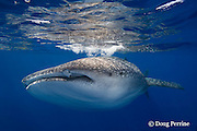 whale shark, Rhincodon typus, with remora in spiracle, Kona Coast, Hawaii Island, ( the Big Island ), Hawaiian Islands, USA ( Central Pacific Ocean ) (dm)