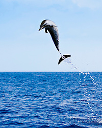 pantropical spotted dolphin, Stenella attenuata, leaping, offshore, Kona Coast, Big Island, Hawaii, USA, Pacific Ocean
