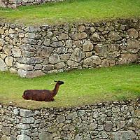 South America, Peru. Llama watching crazy tourist at Machu PIcchu, a UNESCO World Heritage Site.