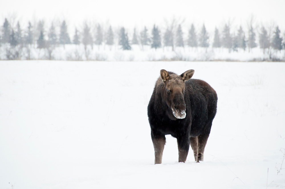 A moose standing in the snow in southern Saskatchewan.
