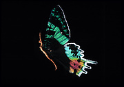 Full length profile of nude woman with butterfly wings against a black background