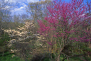 Redbud and Dogwood trees, Carbon Co., Northeast PA