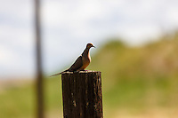 A Mourning dove on a fencepost in the Palouse region of rural Washington State.<br /> <br /> ©2016, Sean Phillips<br /> http://www.RiverwoodPhotography.com