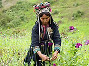An Akha Nuquie subsistence farmer wearing her traditional clothing scores illegally grown opium poppies using a 4 bladed tool in an upland field in remote Phongsaly province, Lao PDR.