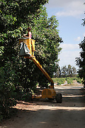 picking avocados (Persea americana). with a hydraulic platform. Photographed at Kibbutz Maagan Michael, Israel