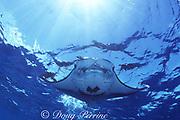 manta ray, Mobula alfredi (formerly Manta alfredi) or Mobula birostris, feeding in Bay of Wrecks, Christmas ( Kiritimati ) Island, Line Islands, Kiribati ( Central Pacific )