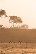Herd of Springbok, The Kaokoveld Desert, Kaokoland, Northern Namibia, Southern Africa