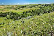 Prairie wildflowers in the summer in the Killdeer Badlands. East Block.<br /> Grasslands National Park<br /> Saskatchewan<br /> Canada