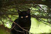 A black house cat (Felis catus), with eyes glowing, stares out from under a dark bush in Seattle, Washington.